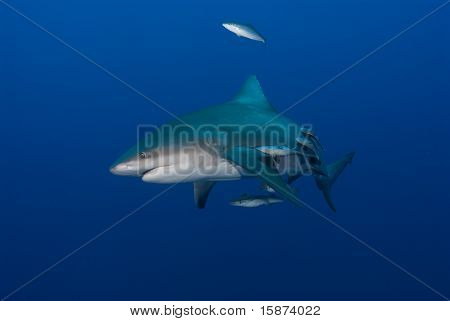 Bull Shark  With Remoras