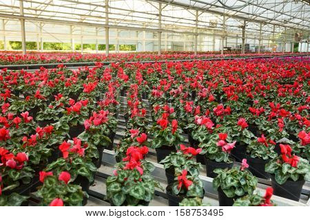 Greenhouse with rows of blooming red plants growing in a pots