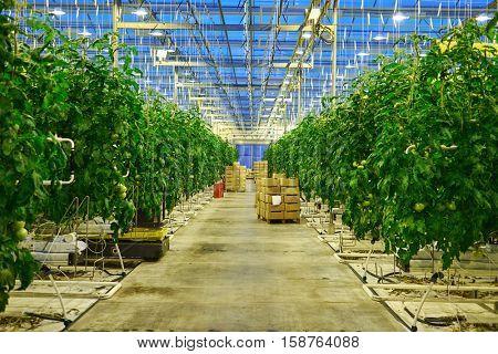 Tomato plantation in greenhouse.