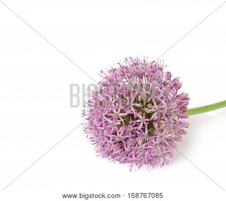 Beautiful Blooming Purple Allium, onion flower on a white background,