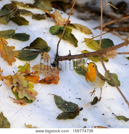 European Robin (Erithacus rubecula) among dry leaves in the snow. Moscow Russia