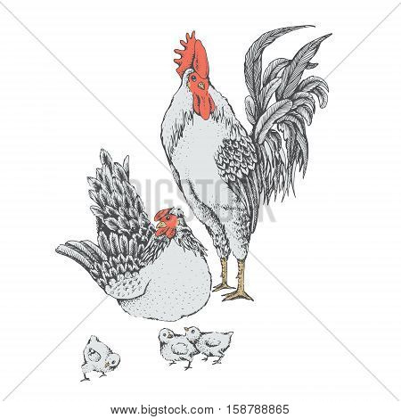 Illustration Rooster Hen Series Vector  Photo  Bigstock