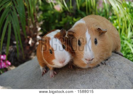 Cute Boar Pair