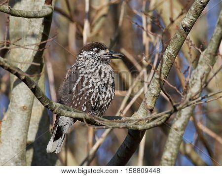Eurasian nutcracker resting on a branch in its habitat
