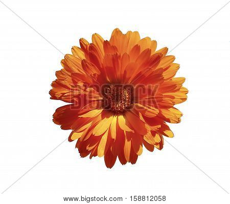 Orange marigold flower isolated on white background