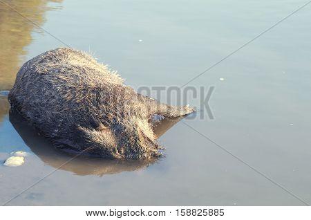 Dead Boar Wild Animal Drowned in the Water Horizontal