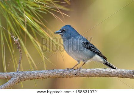 Blue Chaffinch (Fringilla teydea) in natural habitat