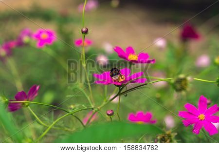 insect bee pollinates pink flower in the summer