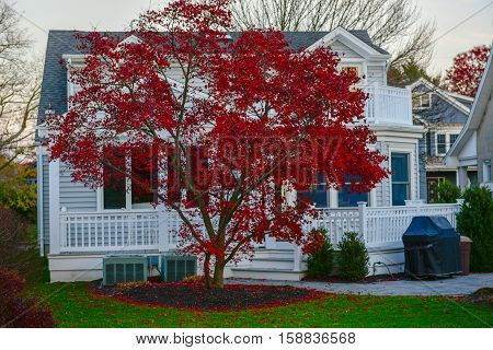 Fallen leaves are scattered around a brigh red Japanese Maple as winter approaches