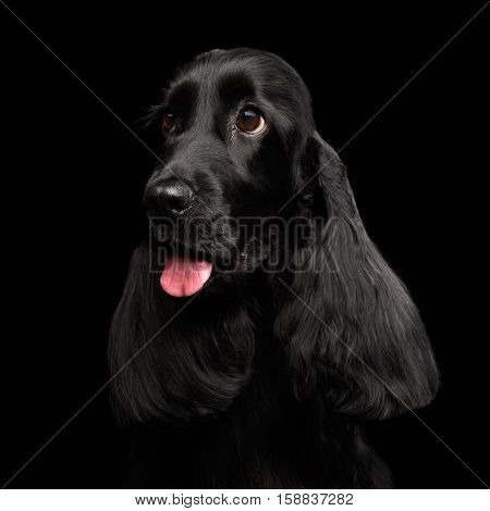 Close-up portrait of dog english cocker spaniel breed, huge eyes looking up on isolated black background, front view