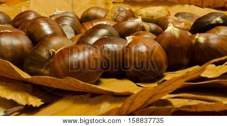 Sweet chestnuts lying on the forest floor on a bed of fallen leaves.