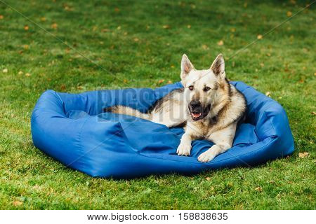 smiling dog on his bed, green grass background