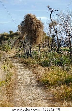 Dry grass of Australian bushland