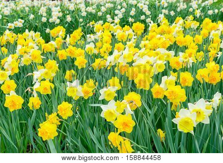 Yellow fresh and white spring growing blooming daffodils background