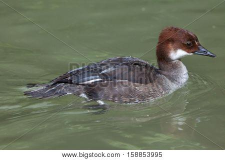 Smew (Mergellus albellus). Juvenile female duck.  Wildlife animal.