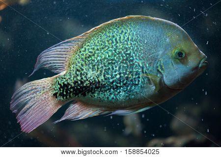Oaxaca cichlid (Vieja zonata). Freshwater fish.