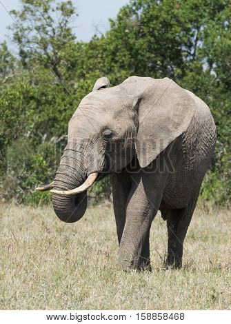 An adult African elephant with tusks walking toward the camera through grassland.