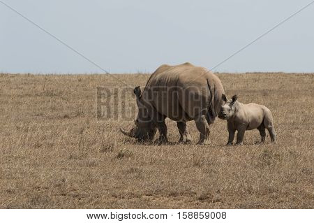 Mother and baby white rhinoceros with mother grazing on dried grass in Sub-Saharan Africa