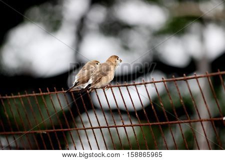 Sparrow (Passer hispaniolensis), male perched on a grill