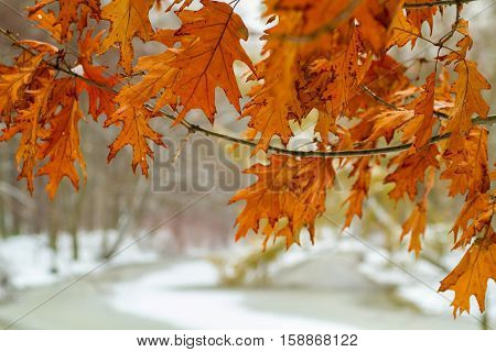 Sankt-St. Petersburg-29.11.2016: the winter park, a maple with not fallen down red leaves