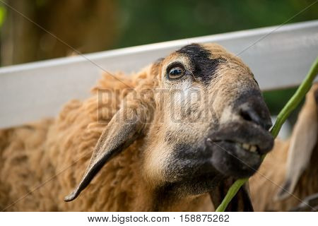 Close-up portrait of a sheep looking at and about to eat a bean on its right with teeth visible. Animal and industry concept.