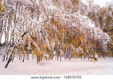 winter birch tilted arc under the weight of snow, force of nature