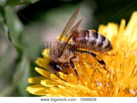 Honeybee Dandelion4 A
