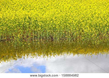 Canola partially underwater after flooding in Koorawatha in Central West NSW