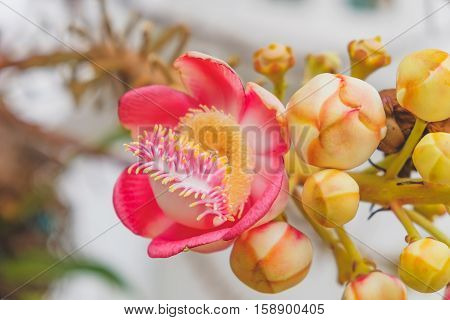 Fragrant pink Couroupita guianensis flower with blurred evening background. Couroupita guianensis or Cannon Ball Flower Only For Lord Shiva Naglingam tree. Botanical photography.