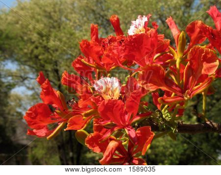 Royal Poinciana In Bloom - 3