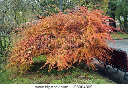 Barberry shrub with red fruits and yellow and red leaves in autumn park