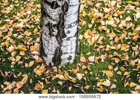 Orange and yellow birch leaves fallen on green grass in the autumn