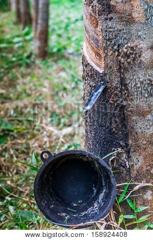 Rubber tree economic crops in southern Thailand