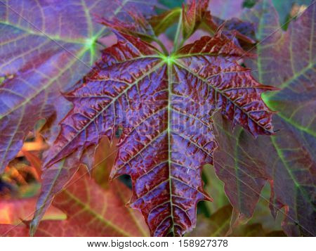 photos of bright autumn leaves as a source for printing and design