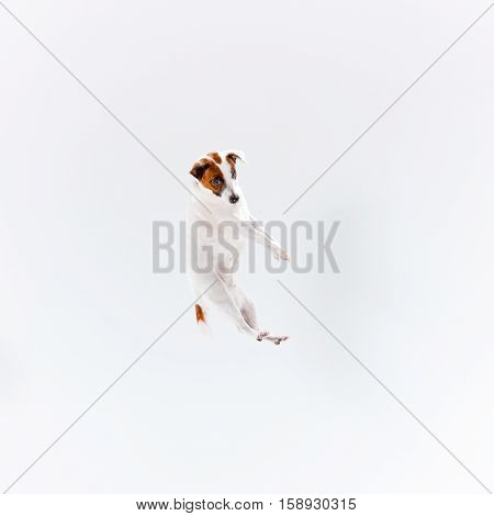 Small Jack Russell Terrier playing on white background