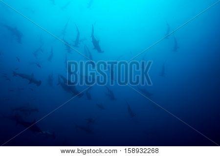 Cocos Island Hammerhead Sharks