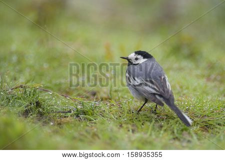 White Wagtail (Motacilla alba) resting in a Meadow on a rainy summer morning