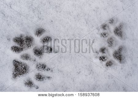 Traces of four dog paws towards each other on white  fresh snow background in winter.