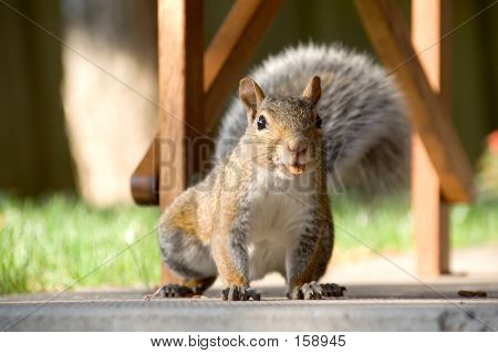 Close-up Of Gray Squirrel With Nut