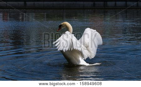 A beautuful swans spread its wings. Spread wings