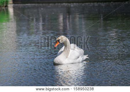 Close-up of a beautiful swimming Swan at the lake