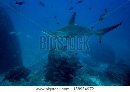 Hammerhead Shark Cocos Island