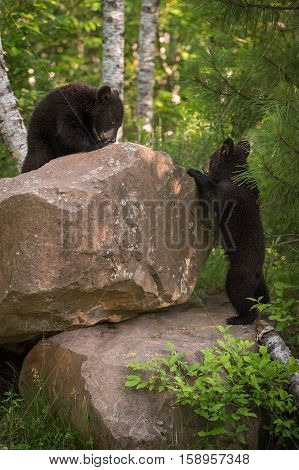 Black Bear (Ursus americanus) Cubs Climb on Rocks - captive animals