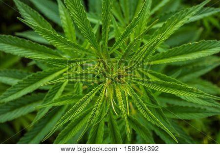 marijuana leaf clouse-up. cannabis for the background.