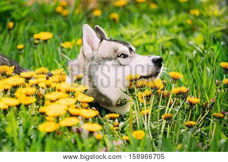 Funny Young Happy Husky Puppy Eskimo Dog Sitting In Grass And Yellow Dandelions Outdoor. Spring Season. Close Up Head
