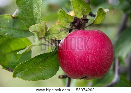 Red Wealthy apple on apple tree branch. Russia.