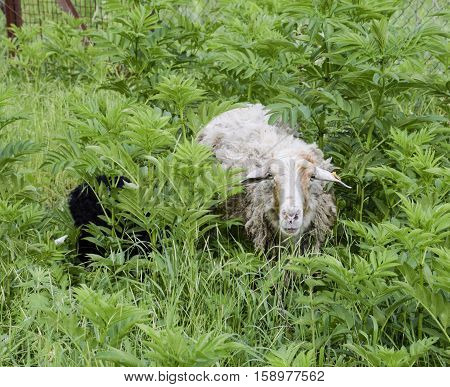 Sheep In A Thicket Of Grass. Sheep Chews Grass