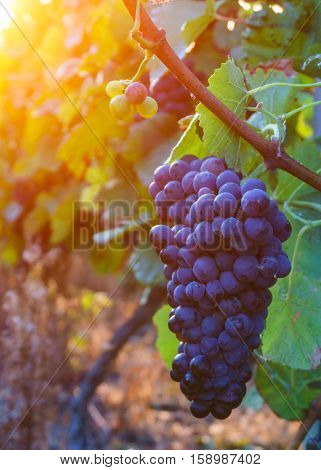 Vine grapes in champagne region in autumn harvest France