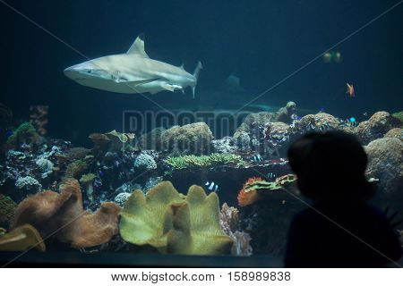 MUNICH, GERMANY - JUNE 13, 2016: Visitor looking as the blacktip reef shark (Carcharhinus melanopterus) swims at Hellabrunn Zoo in Munich, Bavaria, Germany.