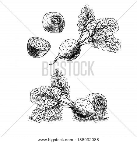 Hand drawn set of beets. Retro sketches isolated. Vintage collection. Linear graphic design. Black and white image of vegetables. Vector illustration.